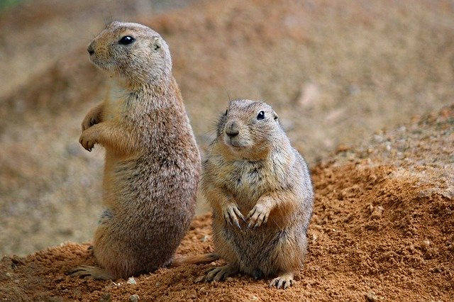 prairie dogs, rodents, couple