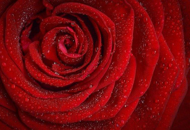 rose, red, flower