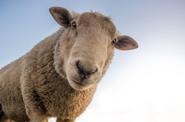 sheep, curious, look