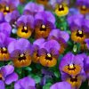 pansy, bloom, blossom